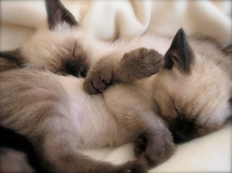 Two_sleeping_siamese_kittens_Wallpaper_h85y1
